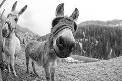 White donkey portrait Stock Images
