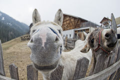 White donkey portrait Stock Photography