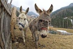 White donkey portrait Royalty Free Stock Image