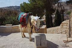 The white donkey poses for tourists Royalty Free Stock Images