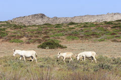 White donkey, resident only island asinara, sardinia italy Stock Image