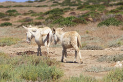 White donkey, resident only island asinara, sardinia italy Stock Photos