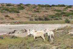 White donkey, resident only island asinara, sardinia italy stock photography