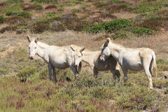 White donkey, resident only island asinara, sardinia italy royalty free stock photography