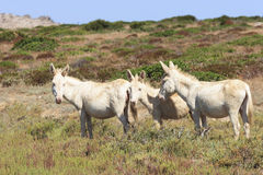 White donkey, resident only island asinara, sardinia italy royalty free stock image