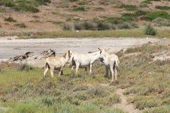 White donkey, resident only island asinara, sardinia italy Royalty Free Stock Images