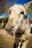 White donkey showing its tongue joking. With all the people in a farm stock photo