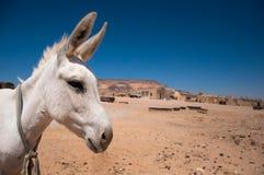 White Donkey Royalty Free Stock Image
