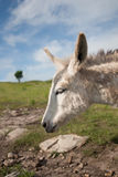 White donkey. Vertical profile image of a white miniature donkey in a pasture Stock Image
