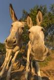 White Donkeys Stock Images