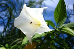 White dope flower and a small bee. A beautiful white dope flower and a small bee flying inside the flower stock photo