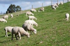 White Dorper herd of sheep lambs grazing hill. White Dorper lambs and sheep grazing on grass Royalty Free Stock Photo