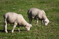 White Dorper sheep lambs grazing. White Dorper lambs and sheep grazing on grass Royalty Free Stock Image
