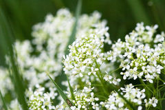 White Dotted. Flowers on meadow Stock Photos