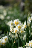 White Double Daffodil. Stock Photos