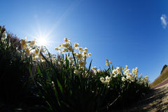 White Double Daffodil. Stock Image