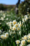 White Double Daffodil. Royalty Free Stock Photo