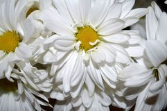 White double daisy close up. Closeup of a bouquet of beautiful, fresh white double daisies, Bellis Perennis Stock Images