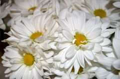 White double daisy close up. Closeup of a bouquet of beautiful, fresh white double daisies, Bellis Perennis stock photography