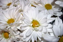 White double daisy close up. Closeup of a bouquet of beautiful, fresh white double daisies, Bellis Perennis Stock Photo