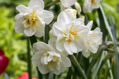 White double narcissus poeticus in bloom Stock Photos