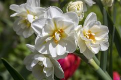 Free White Double Narcissus Poeticus In Bloom Stock Photos - 111692353