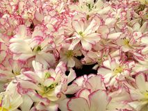 White double tulips. White with pink tulips in the park Stock Photo