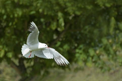 White dove. A symbol of peace and purity stock photo