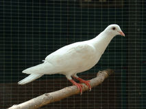 White Dove. A white dove on a black background.  Taken at a wildlife hospital shortly before release Stock Photography