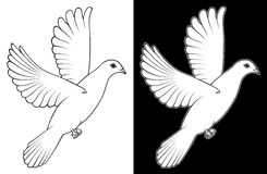 White Dove. A white dove on white and black background Royalty Free Stock Photography