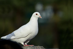 White dove Stock Image