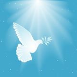 White dove Stock Photos