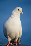 White dove. Siting on a blue water background royalty free stock photo