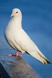 White dove. Siting on a blue water background royalty free stock photography
