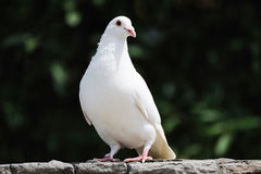 White dove. Stand on the wall royalty free stock photos