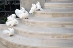 White dove Stock Image