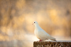 White dove. On a beautiful blured background stock images