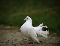 White dove Stock Photography