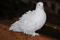 White Dove Royalty Free Stock Images