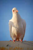 White dove. A standing white dove, blue sky as background Royalty Free Stock Image