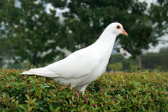 White Dove. On green bush Royalty Free Stock Image