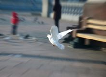 White dove. Flying white dove (zoom motion blur Royalty Free Stock Photography
