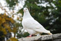 White dove. The white dove on the tree stock photos