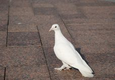 White dove Royalty Free Stock Image