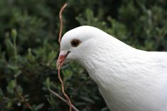 White dove. With twig in beak royalty free stock images