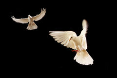 Free White Dove Royalty Free Stock Photography - 7787817
