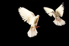 Free White Dove Royalty Free Stock Images - 7787839