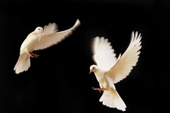 Free White Dove Stock Image - 7787841