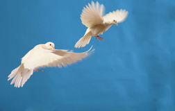 Free White Dove Stock Photos - 7812183