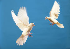 Free White Dove Royalty Free Stock Photos - 7812198